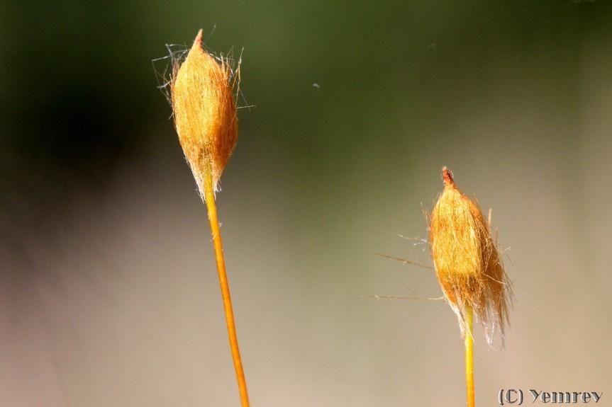 Haarmos, sporenkapsels