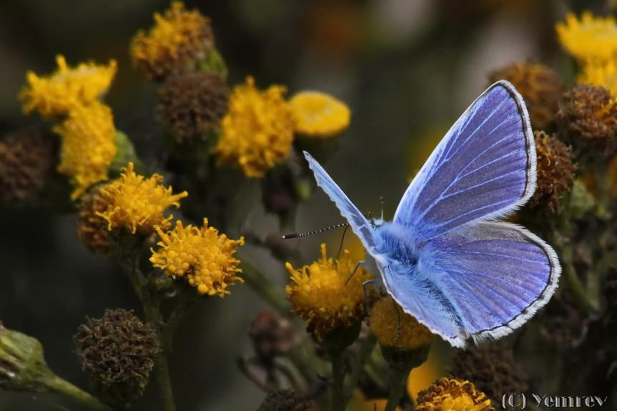 Icarusblauwtje mannetje