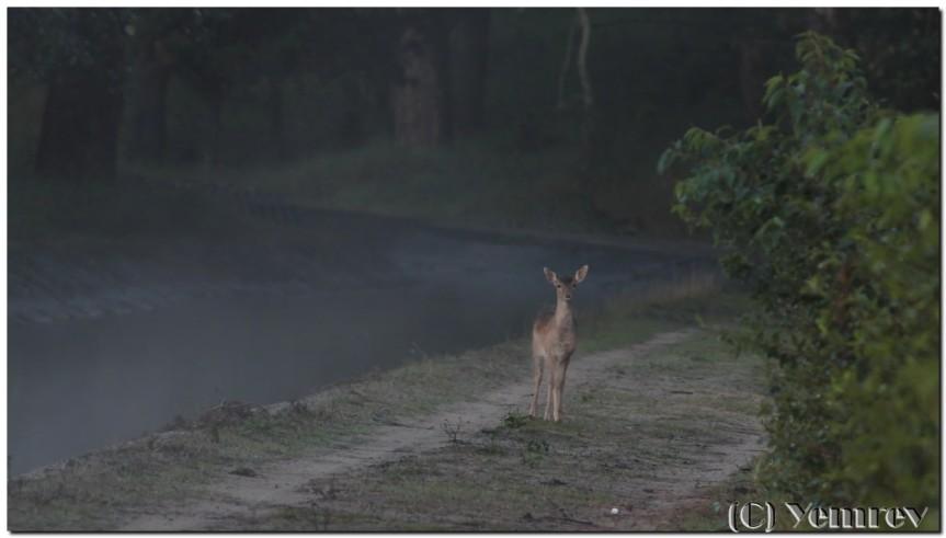 Jong damhert in de dunne mist
