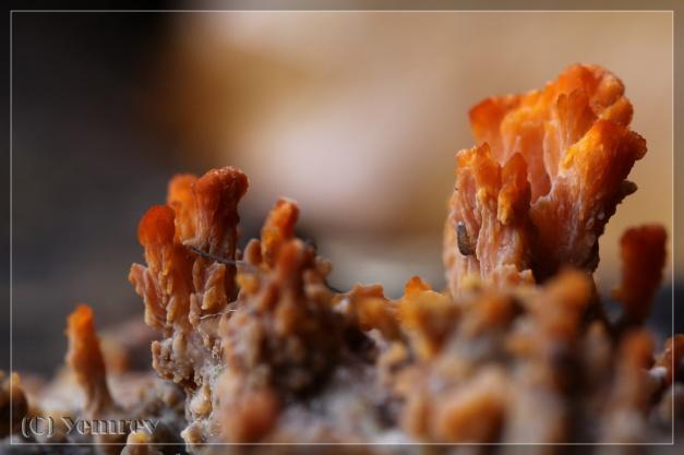 Oranje Aderzwam