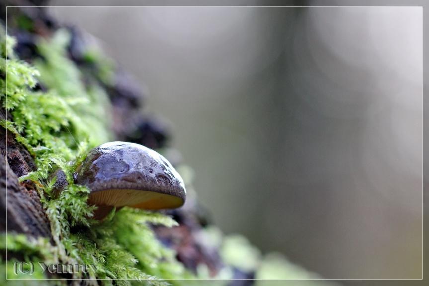 Groene Oorschelp