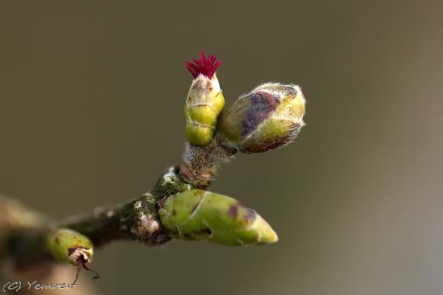Hazelaar, vrouwelijke bloeiwijze.