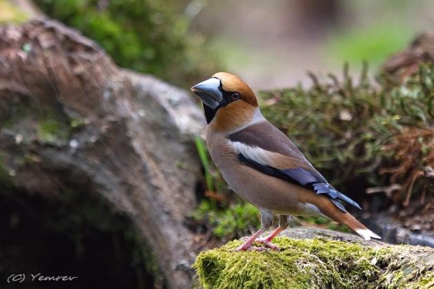 Bos-Vogelhut Hoenderloo