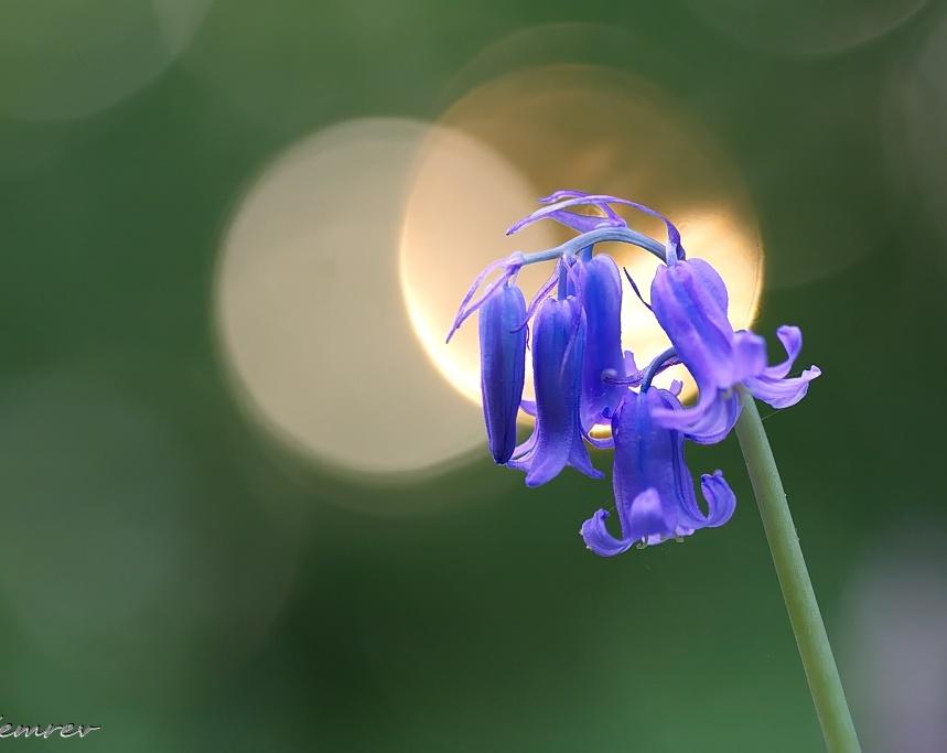 Blauwe Boshyacint