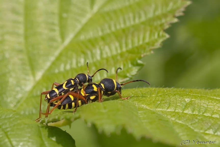Kleintjes Kleine Wespenboktorren in de maak
