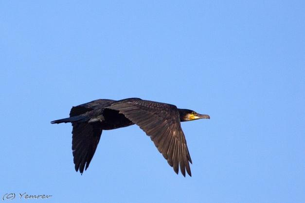 Aalscholver op weg naar het Vogelmeer