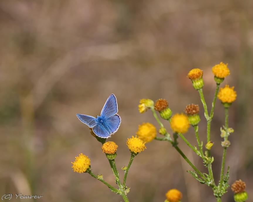 (Icarus?)blauwtje