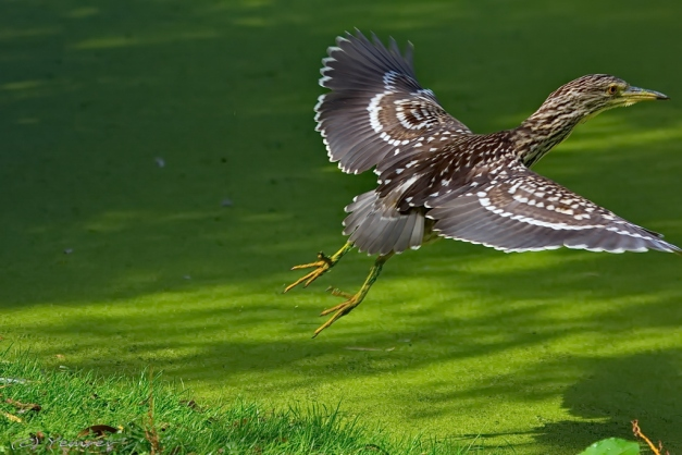 Vliegende Kwak