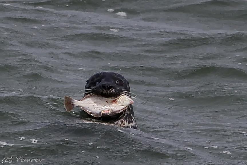 Zeehond vangt bot!