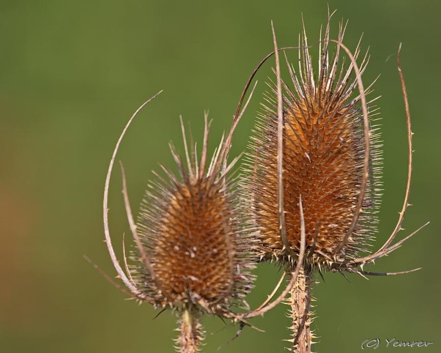 Kaardebollen