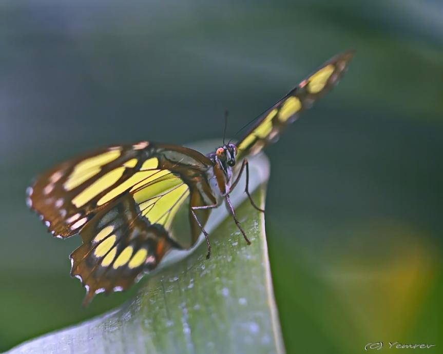 Malachietvlinder