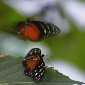 Paringsdans Passiebloemvlinders