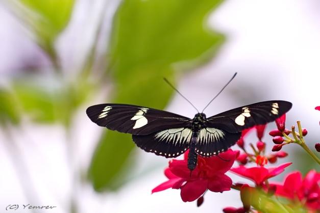 Passiebloemvlinder