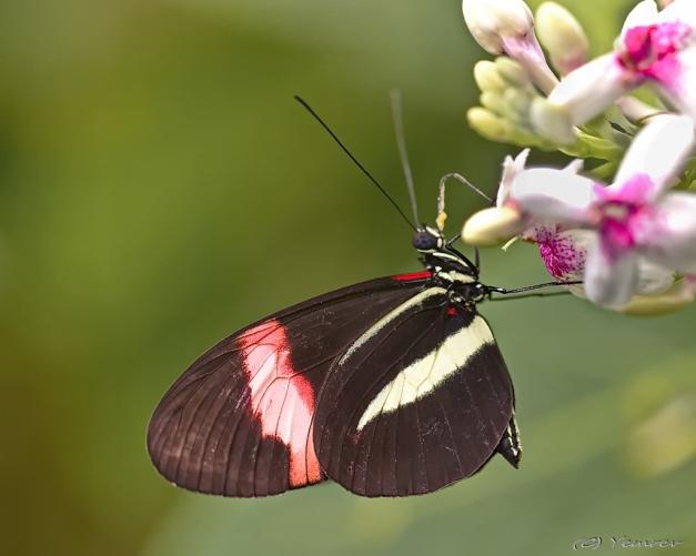 Passiebloemvlinder aan de nectar