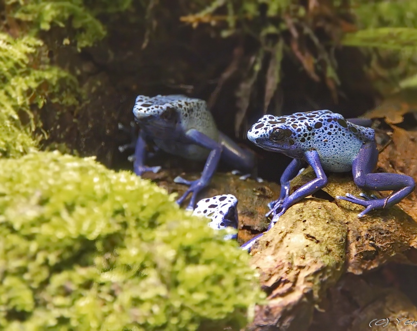 Blauwe Pijlgifkikkers 2