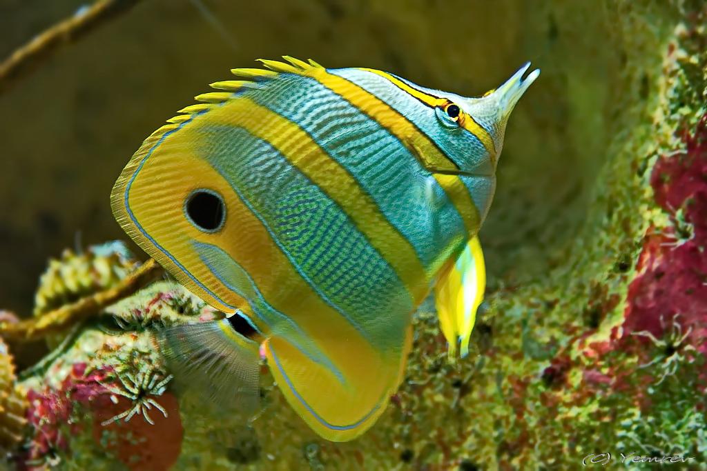 tropische vissen   Yemrev Kiekt