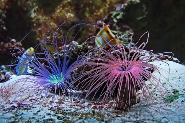 Aquarium Artis 9 - Zee-anemonen