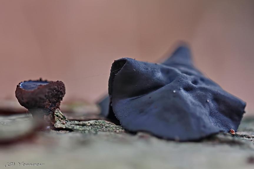 Zwarte Knoopzwam - oud en nieuw