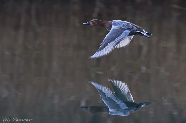 Vliegende Tafeldame