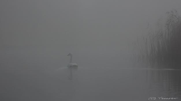 Wilde Zwanen in de mist