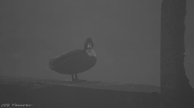 Wilde Eend in de mist