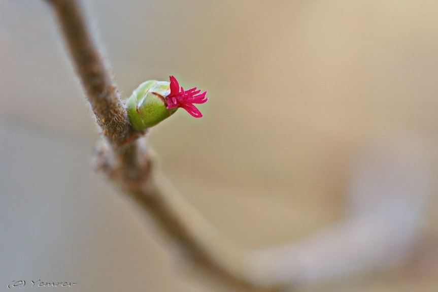 Vrouwelijk bloeiwijze van de hazelaar