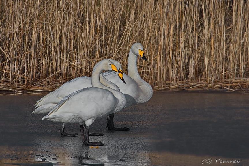 Wilde Zwanen op dun ijs