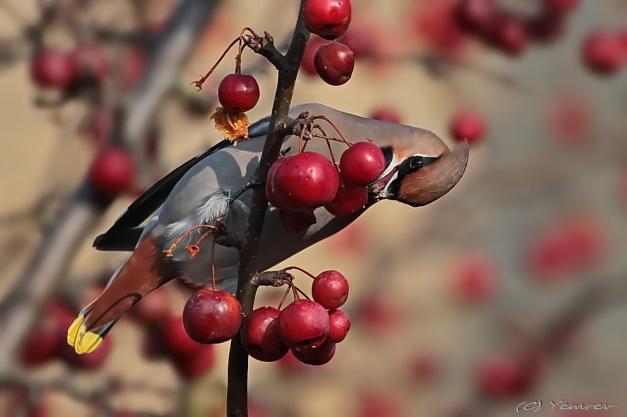 Pestvogel 9