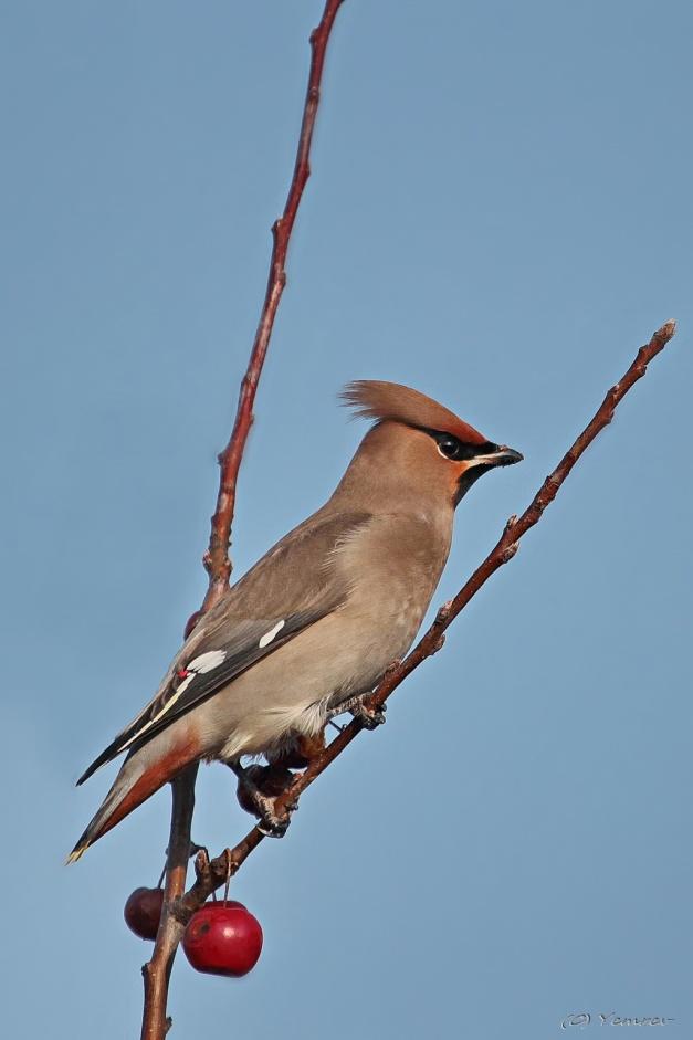 Pestvogel 10