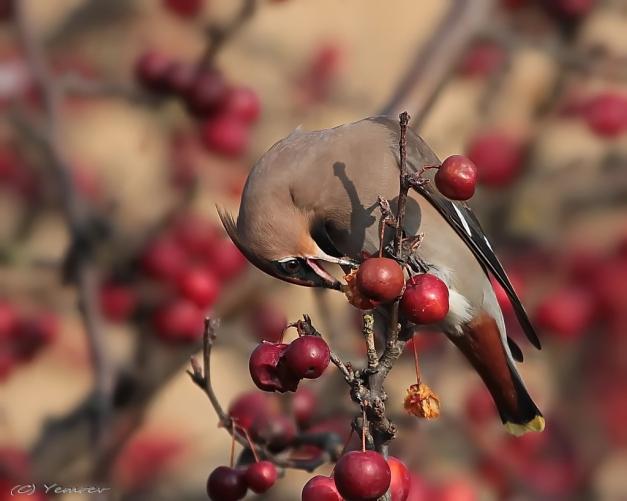 Pestvogel 12
