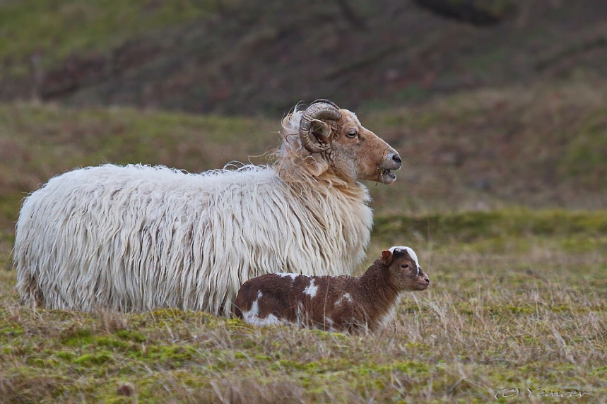 Drents Heideschaap met lam