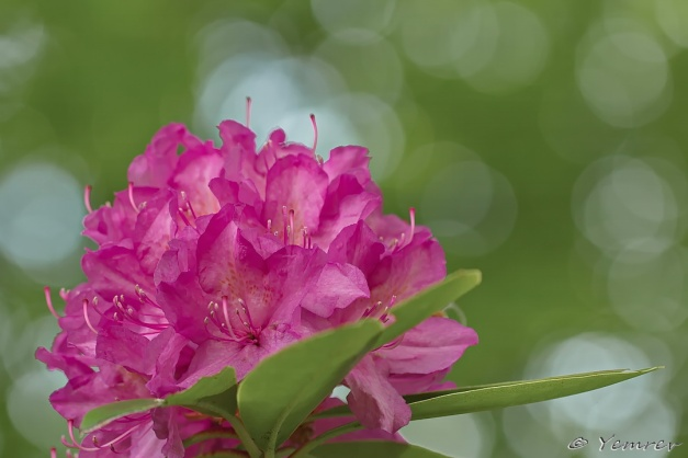 Rododendron met effect