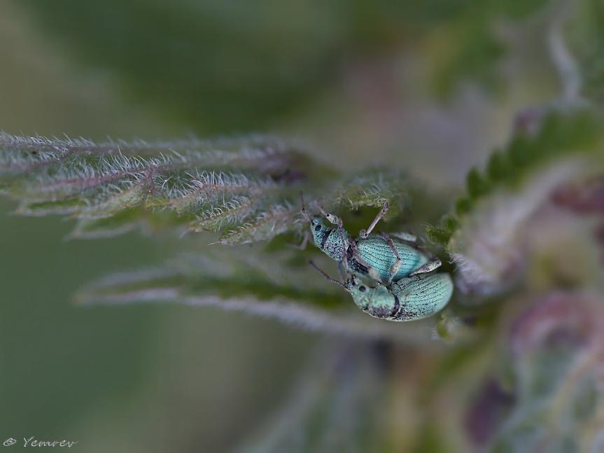 Groen Snuitkevers