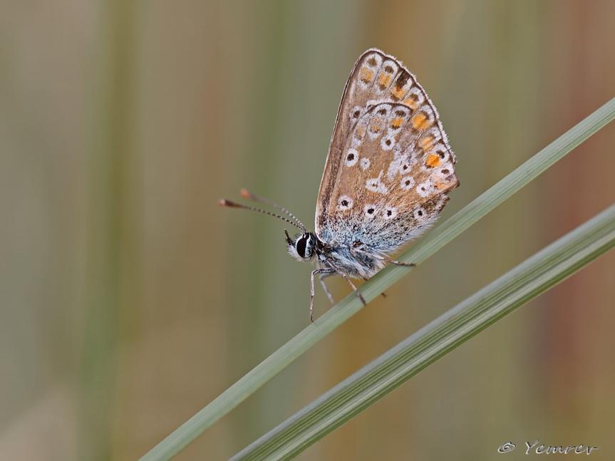 Icarusblauwtje, vrouwtje