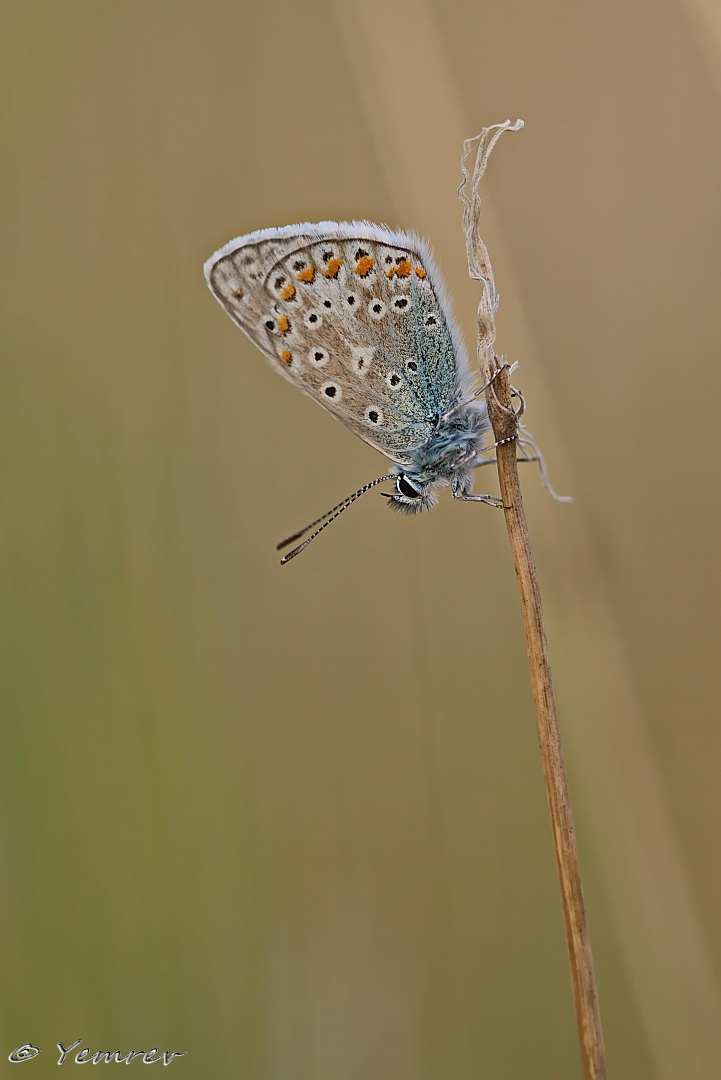Icarusblauwtje 2