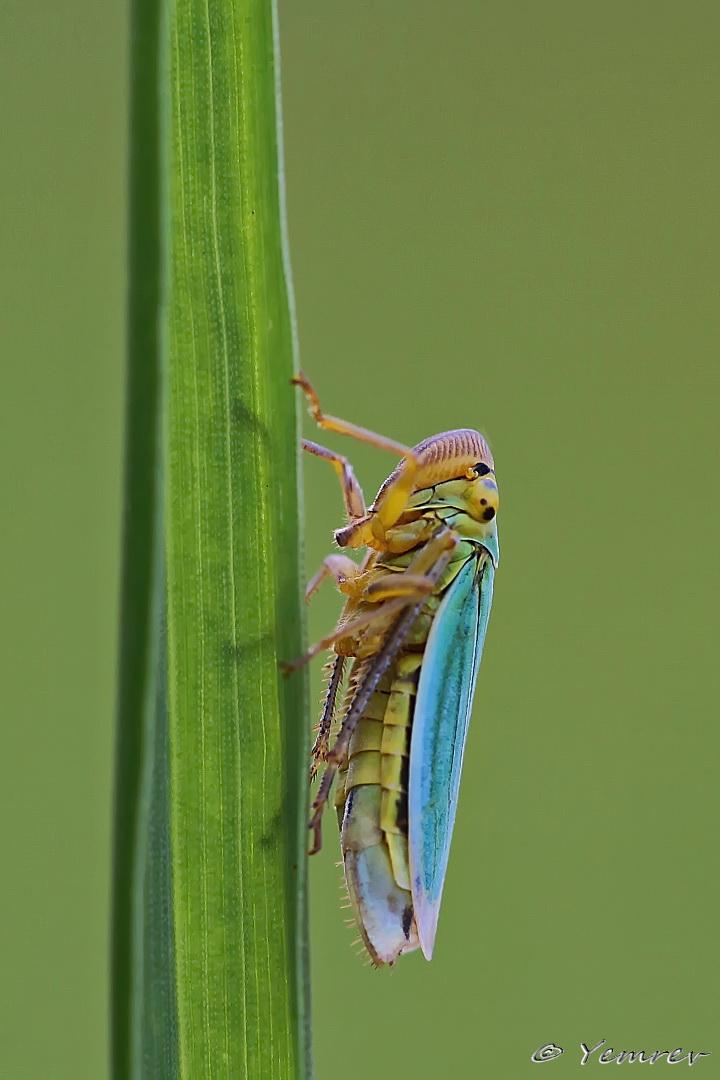 Groene Cicade