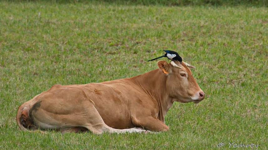 Koe-ekster