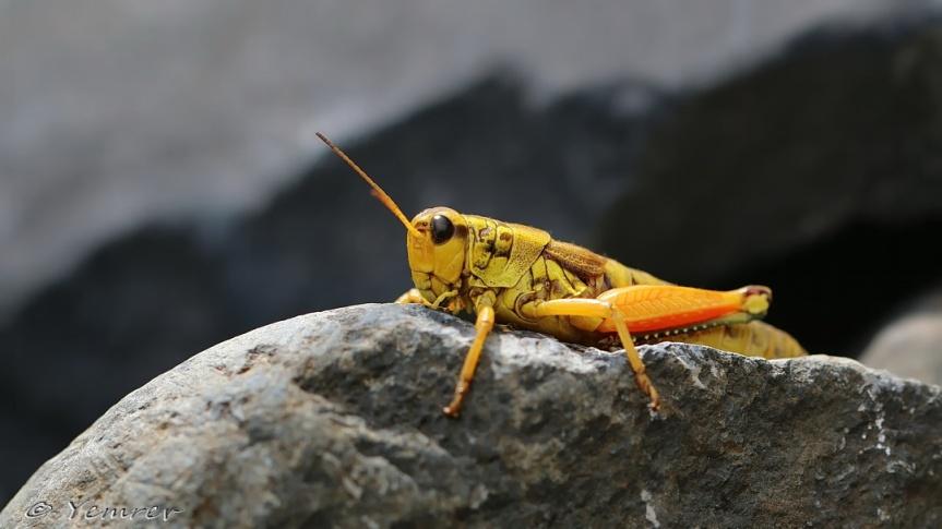 Gele Bergsprinkhaan