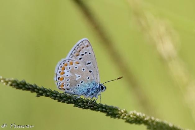 Icarusblauwtje (m)
