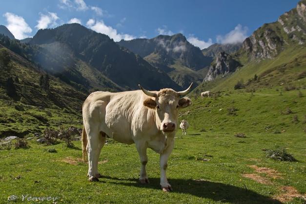 Pyreneeënkoe