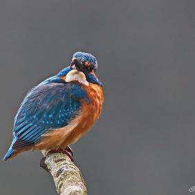IJsvogel 2