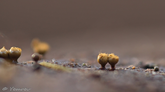 Peervormig Draadwatje (Trichia decipiens )