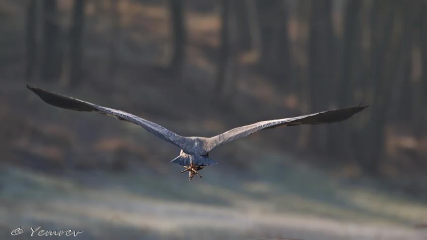 Blauwe Reiger in vlucht