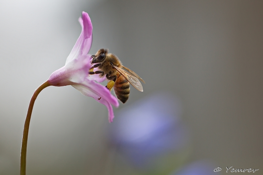 Roze Sneeuwroem met honingbij