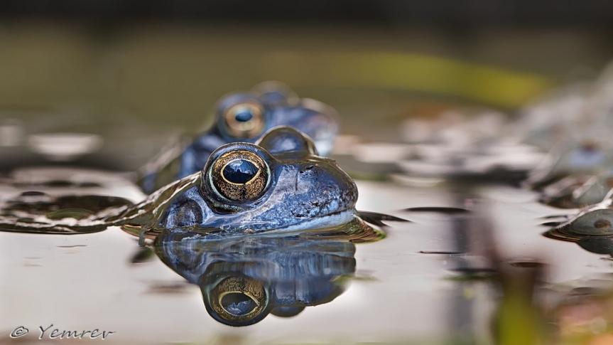 Blauwe bruine kikkers