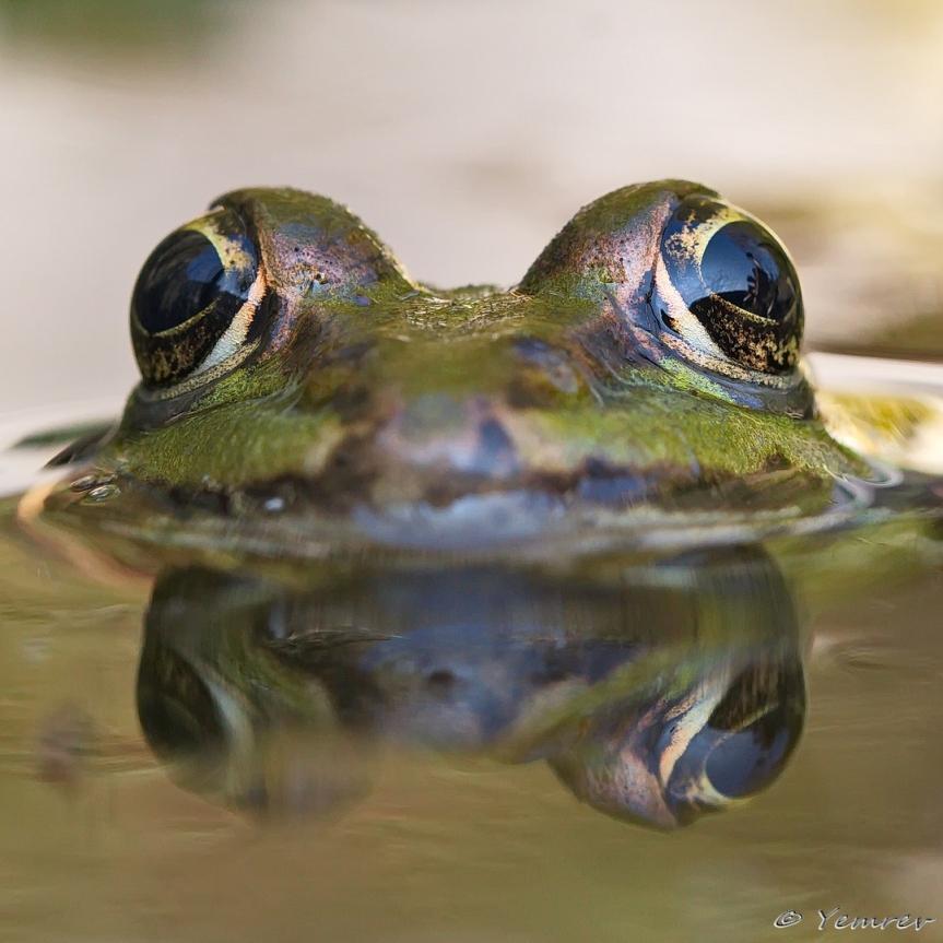 Groene kikker