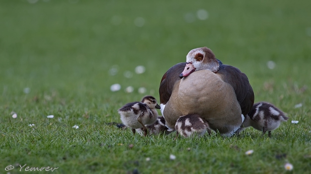 Nijlganzenfamilie
