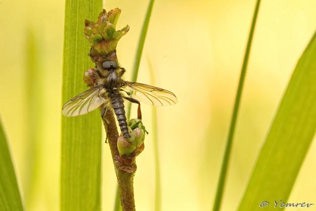 Rouwvlieg of Maartse Vlieg