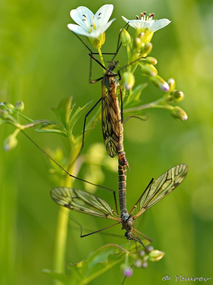 Parende Langpootmuggen