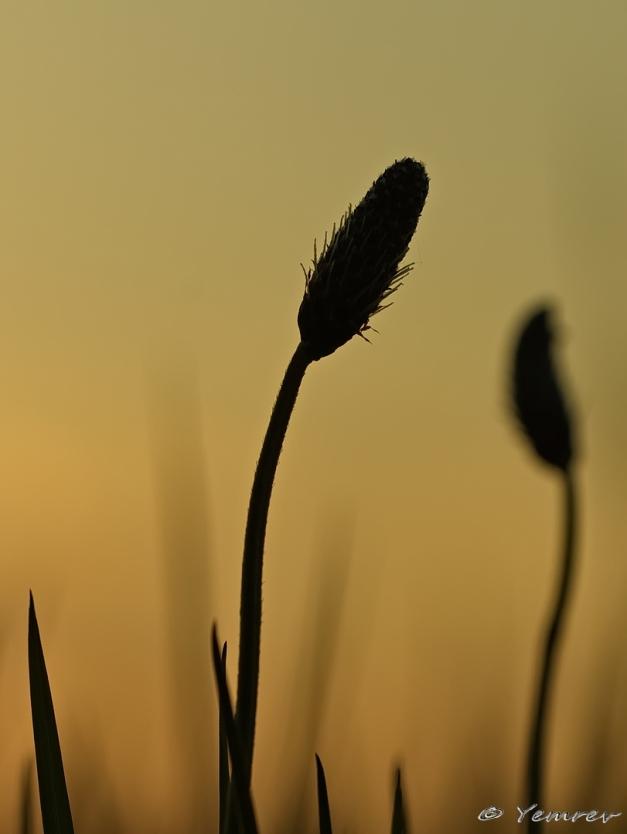 Weegbree silhouet